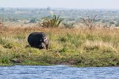 stock photo of amphibious  - Herd of Hippopotamus grasing out the water during day time - JPG