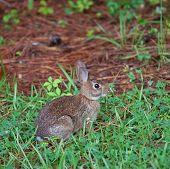 Conejo joven