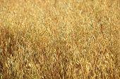 Crescendo em um campo de trigo dourado