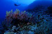 Woman scuba diver exploring soft corals