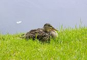 female mallard on the grass, pond in France