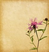 Old worn paper with Brown Knapweed