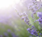 stock photo of differential  - Beautiful lavender field with sun flare and shallow depth of field differential focus technique - JPG