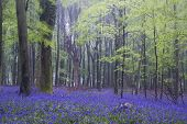 picture of harebell  - Beautiful carpet of bluebell flowers in misty Spring forest landscape - JPG