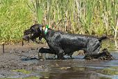 stock photo of duck-hunting  - A hunting dog retrieving a duck in a wetland - JPG