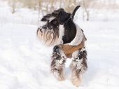 Miniature Schnauzer On Snow