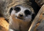 picture of meerkats  - This animal have a cute face and love to dig to find the food. 