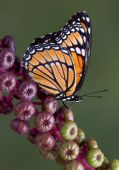 picture of pokeweed  - A viceroy butterfly is sitting on a branch of pokeweed - JPG