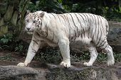 stock photo of bengal cat  - Rare White Bengal Tiger Walking in Wild - JPG