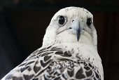 stock photo of falcons  - Grey falcon close up - JPG