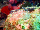 image of cebu  - Underwater inhabitants of sea depths of strait Cebu - JPG