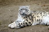 image of panthera uncia  - Snow leopard relaxed on a ground floor - JPG