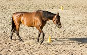 Purebred Brown Horse Walking In Sand