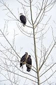 Bald Eagles in Winter Tree