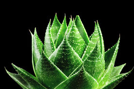stock photo of aloe-vera  - photo of Aloe Cosmo Isolated On Black Background - JPG