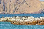 Paracas National Reserve, Peru - pelicans and cormorants