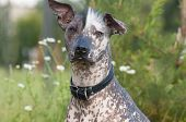 stock photo of mexican-dog  - Xoloitzcuintle  - JPG
