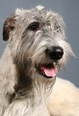Irish Wolfhound on grey