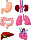 Internal organ set