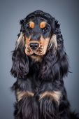Purebred english cocker in a studio