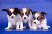 Three Papillon Puppies on a blue background