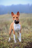 Red basenji on meadow