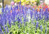 stock photo of blue-salvia  - Blue salvia purple flowers bloom in season.