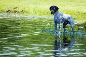 English Pointer At The Pond