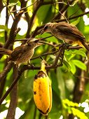 stock photo of bulbul  - two bulbul birds eating banana on a tree - JPG