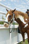 stock photo of brahma-bull  - A horse waiting to compete in a rodeo - JPG