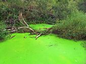 pic of photosynthesis  - An acid-green pond in a swamped area
