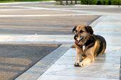 A Stray Dog Lying On The Sidewalk