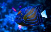 stock photo of angelfish  - A close up of Blue Ring Angelfish - JPG