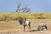 picture of wildebeest  - Pair of white bearded wildebeests  - JPG