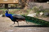 picture of female peacock  - Beautiful male peacock lying on green lawn atracting female - JPG