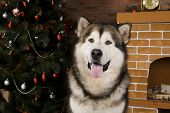 stock photo of malamute  - Sweet malamute dog sitting with christmas - JPG