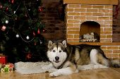 foto of malamute  - Sweet malamute dog sitting with christmas - JPG