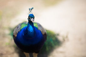 stock photo of female peacock  - Beautiful male peacock lying on green lawn atracting female. ** Note: Soft Focus at 100%, best at smaller sizes - JPG
