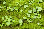 foto of hepatitis  - Hepatics plant growing on tree stump with green moss