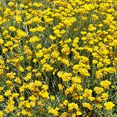 stock photo of sissy  - Helichrysum stoechas in bloom in Sissi in Crete Greece - JPG