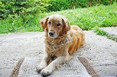 Close Up Of Golden Retriever Looking At Camera
