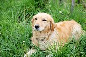 Close Up Of Golden Retriever Lying In Grass
