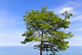 Bright Tree Near The Sea