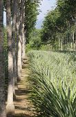 Pineapple plantations and Brazilian rubber trees (lat. Hevea brasiliensis) in Phuket, Thailand