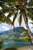 Tahiti Palm Tree