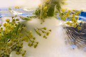 Frozen   Flower Of Barberry