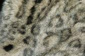 Snow leopard fur texture (Panthera uncial).