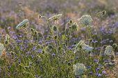 Field Flowers at Dawn