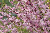 A Lot Of Pink Flowers On The Branches