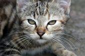 Mourao Kitten